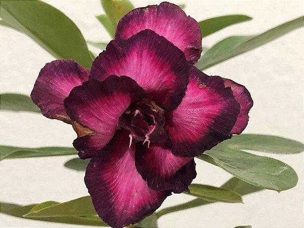 Enxerto Rosa do Deserto de uma cor com flor Dobrada na cor Uva