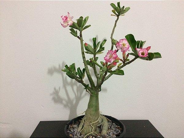 Planta adulta de Rosa do Deserto de semente de flor Dobrada na cor Branca com Rosa