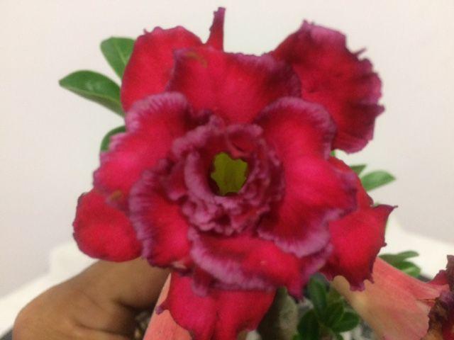 Enxerto Rosa do Deserto de uma cor com flor Tripla - NST35