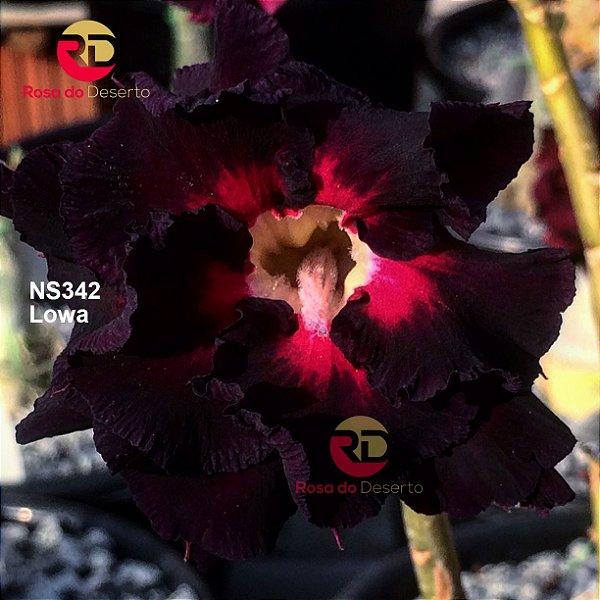Enxerto Rosa do Deserto de uma cor com flor dobrada - Lowa