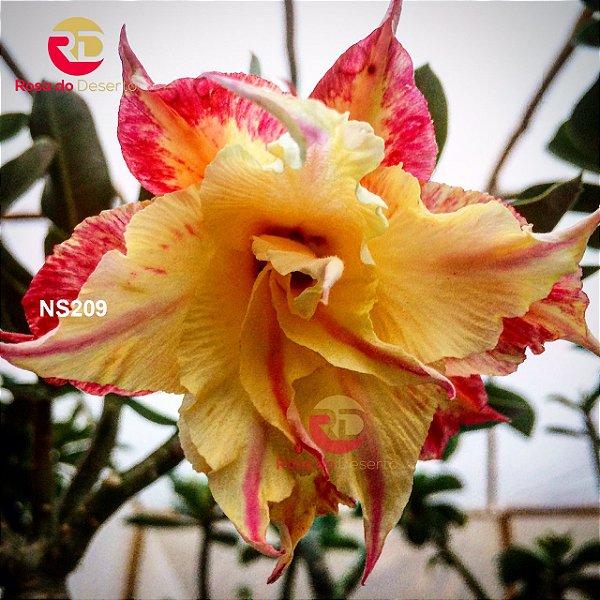 Enxerto Rosa do Deserto de uma cor com flor tripla - Wealthy