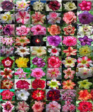 Kit com 50 sementes de cores de flor simples, dobradas e triplas da Rosa do Deserto