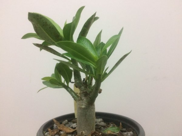 Adenium Thai Socotranum Chada Petch