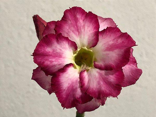Enxerto Rosa do Deserto com flor dobrada matizada