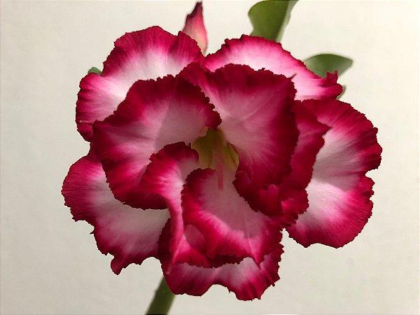 Enxerto Rosa do Deserto de uma cor com flor Dobrada na cor Matizada