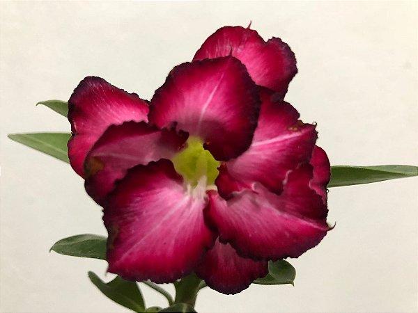 Enxerto Rosa do Deserto com flor dobrada uva