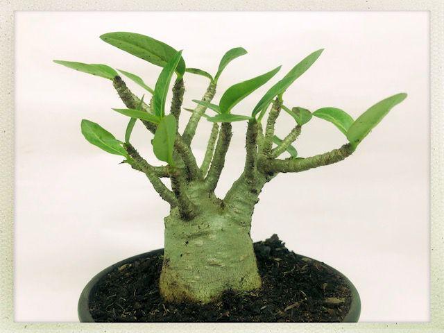 Adenium Arabicum PMK