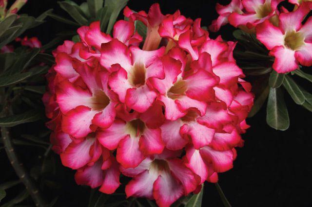 KIT com 10 mudas de Rosa do Deserto BOUQUET pote 15