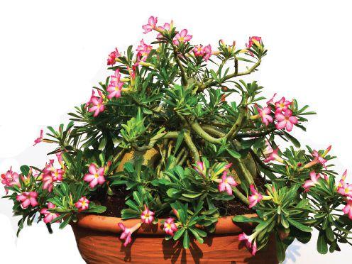 KIT com 10 mudas de Rosa do Deserto PENDENTE pote 11