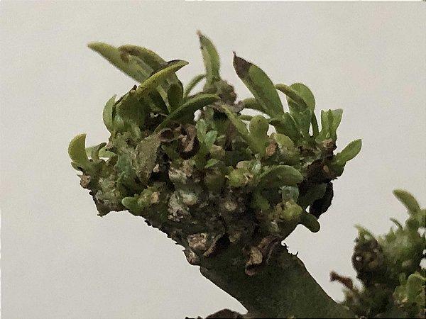 Muda Rosa do Deserto de semente Cristata Bouquet