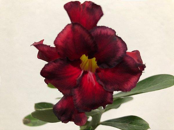 Enxerto Rosa do Deserto de uma cor com flor Dobrada na cor Vermelha