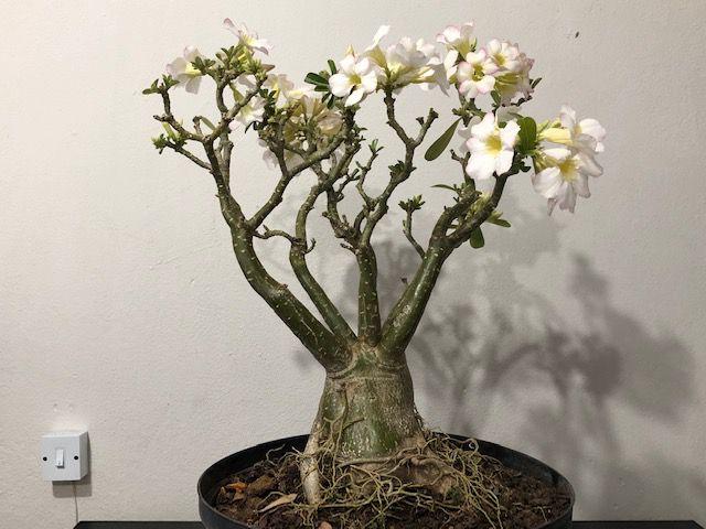 Planta adulta de Rosa do Deserto CRISTATA com flor Simples na cor Branca com borda Rosa