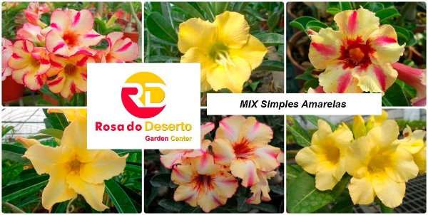 MIX com 30 sementes de flores simples amarelas - Rinoa Chen