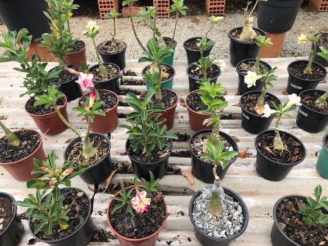 Kit com 20 enxertos de Rosa do Deserto com flor dobradas. Cores variadas