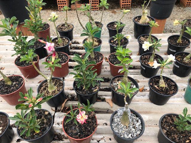 Kit com 30 enxertos de Rosa do Deserto com flor dobradas. Cores variadas