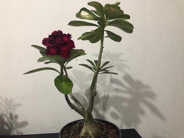 Planta adulta de Rosa do Deserto de enxerto com flor Tripla na cor Vermelha com Preto