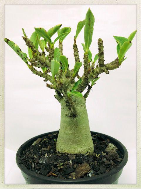 Muda de Adenium Arabicum (Green Arabicum) - 2 Anos