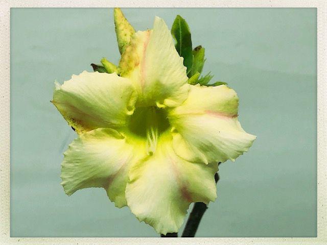 Muda Rosa do Deserto de semente com flor simples na cor Amarela