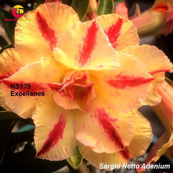 Enxerto Rosa do Deserto com flor tripla importada - Excellence