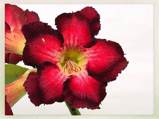 Muda Rosa do Deserto de semente com flor simples na cor Vermelha e Preto