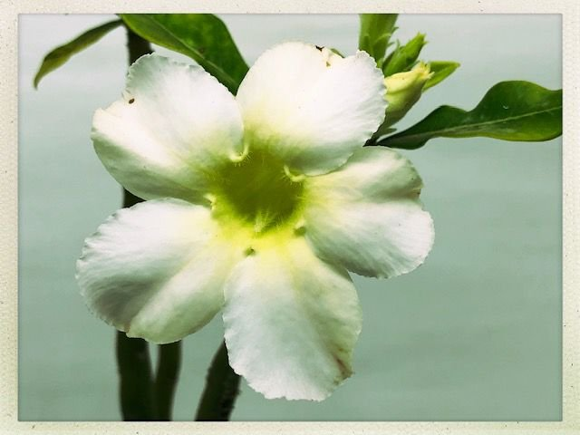Muda Rosa do Deserto de semente com flor simples na cor Branca