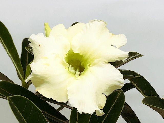 Muda Rosa do Deserto de semente com flor simples na cor Amarelo Creme