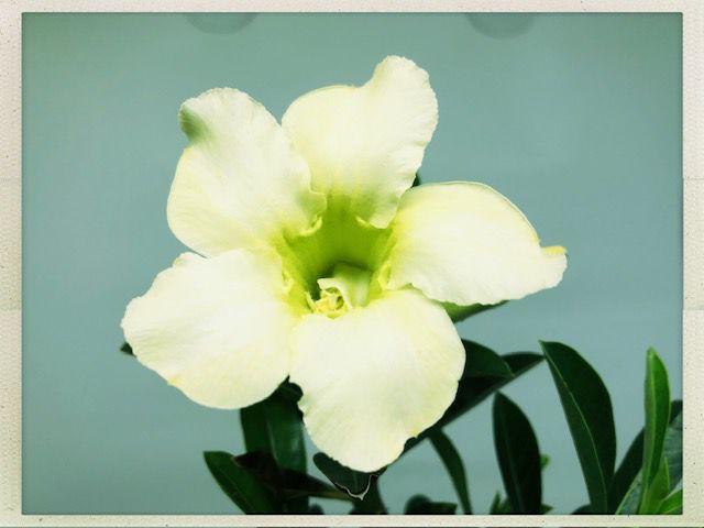 Muda Rosa do Deserto de semente com flor simples na cor Amarela Creme