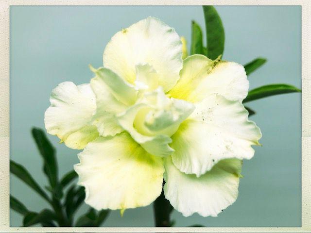Muda Rosa do Deserto de semente com flor dobrada na cor Amarelo Creme