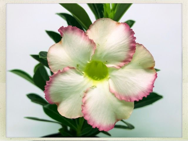Muda Rosa do Deserto de semente com flor simples na cor Matizada