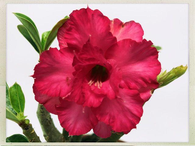 Muda Rosa do Deserto de semente com flor tripla na cor Pink