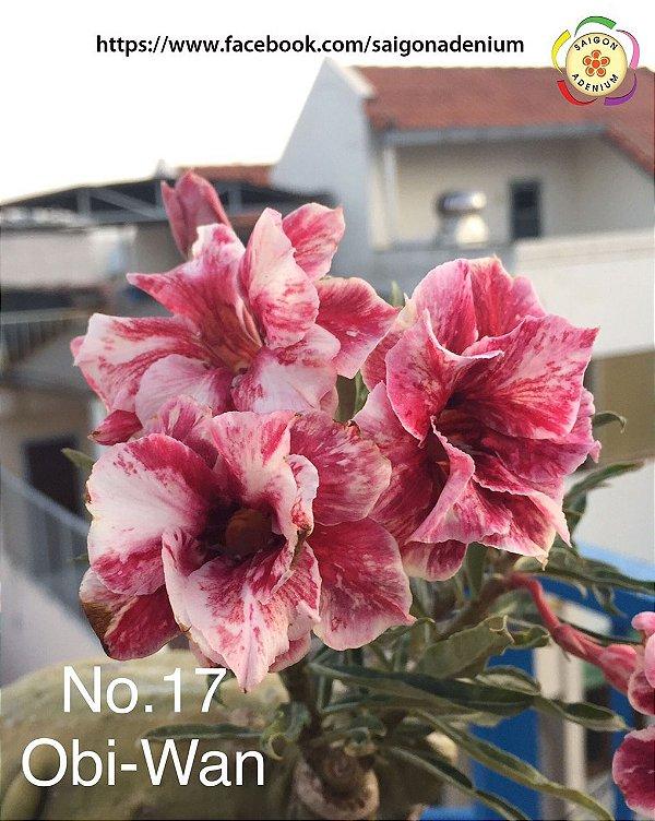Sai Gon Adenium - Kit com 3 sementes