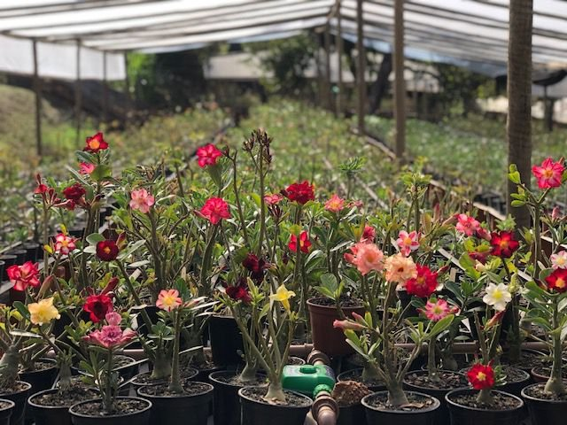 Kit com 30 mudas de Rosa do Deserto de sementes (SaiGon) com flores simples e dobradas. Cores variadas.