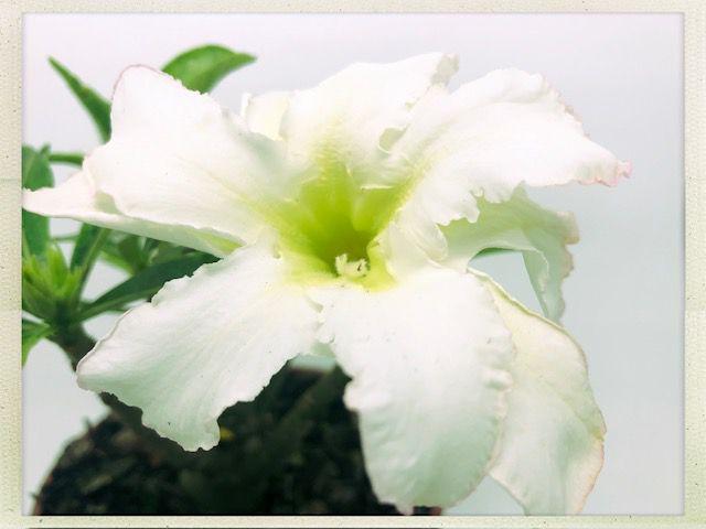 Muda Rosa do Deserto de semente com flor dobrada na cor Branca