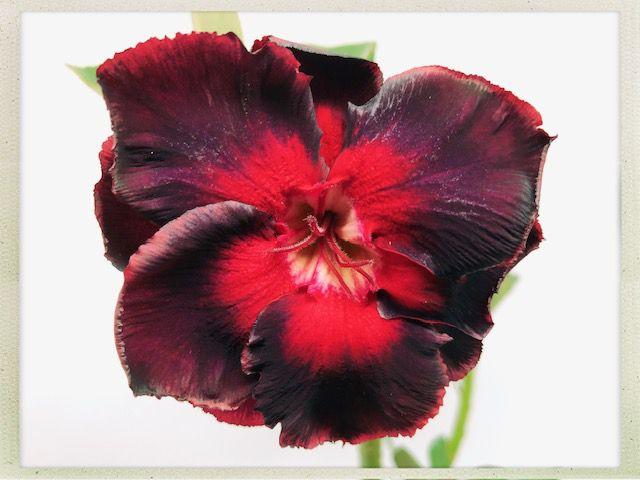 Muda Rosa do Deserto de semente com flor dobrada na cor Vermelho e Preto