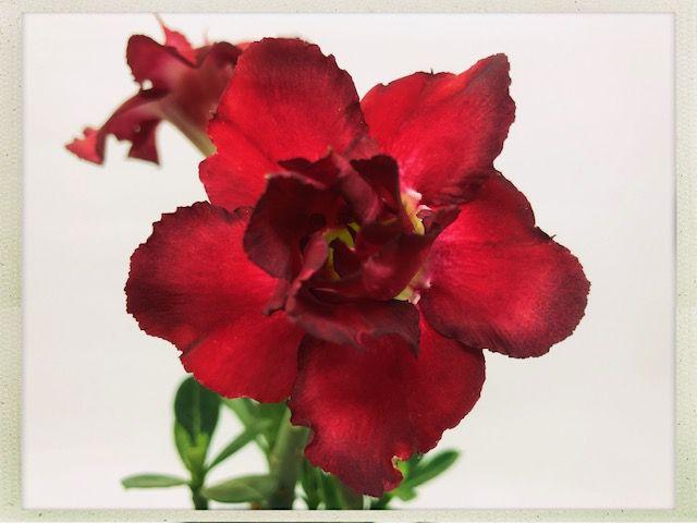 Muda Rosa do Deserto de semente com flor dobrada na cor Vermelha