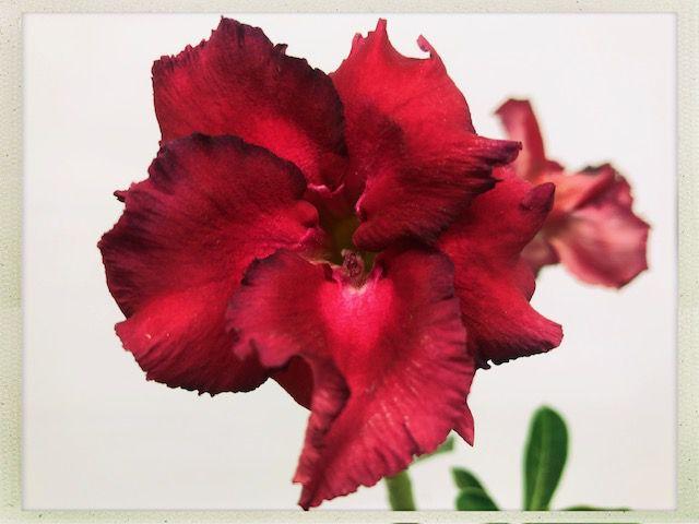 Muda Rosa do Deserto de semente com flor dobrada na cor Vermelho