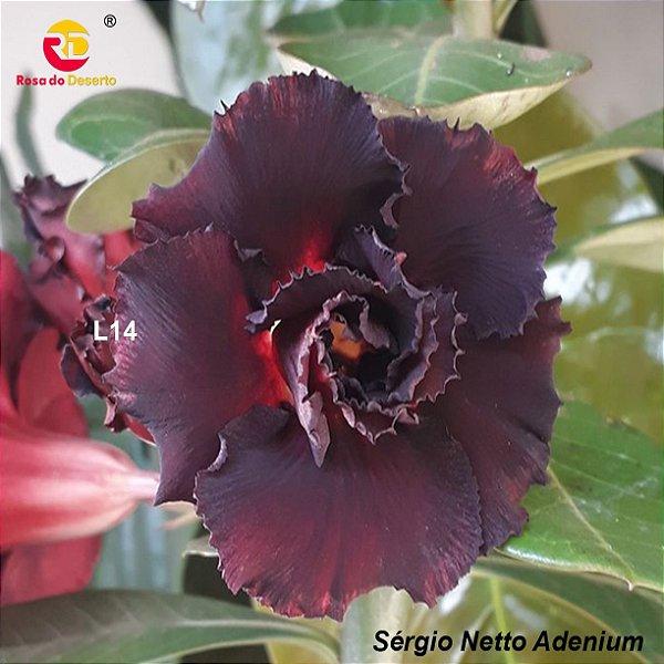 Enxerto de uma cor com flor dobrada - L14 (Escura) - Nacional