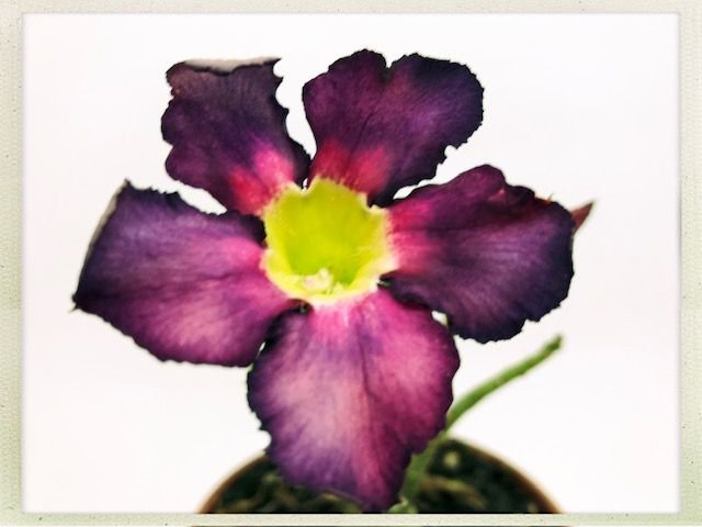 Muda Rosa do Deserto de semente com flor simples na cor Roxa