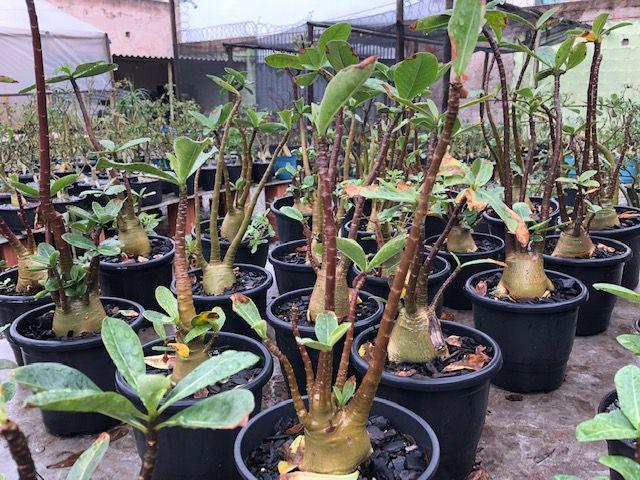 Rosa do Deserto Adenium Arabicum - Kit com 5 plantas - 2,5 Anos