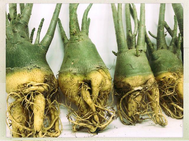 Rosa do Deserto Adenium Arabicum - Kit com 20 plantas - 2,5 Anos