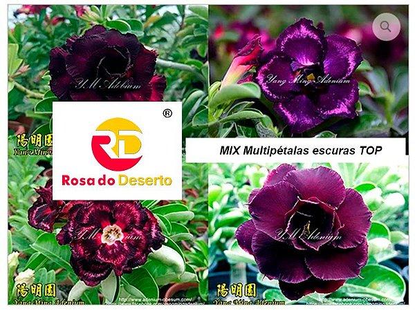 MIX com 50 sementes de flores dobradas e triplas escuras top - Yang Ming