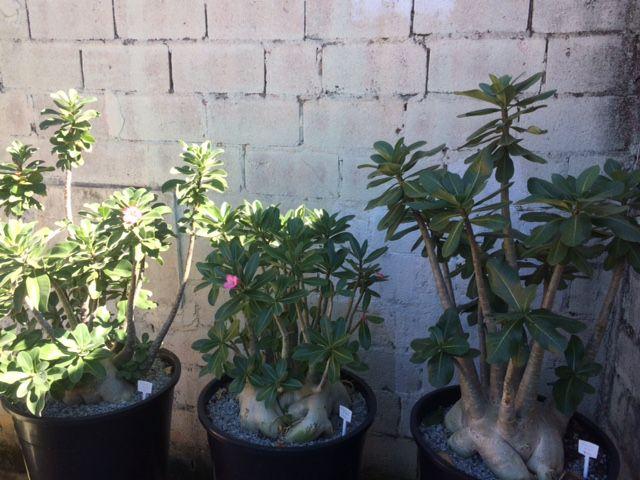 Rosa do Deserto - Adenium Arabicum - Kit com 50 sementes