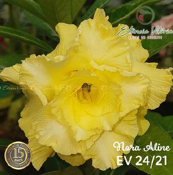 Muda Rosa do Deserto de enxerto com flor tripla na cor Amarela - EV24/21 NORA ALINE