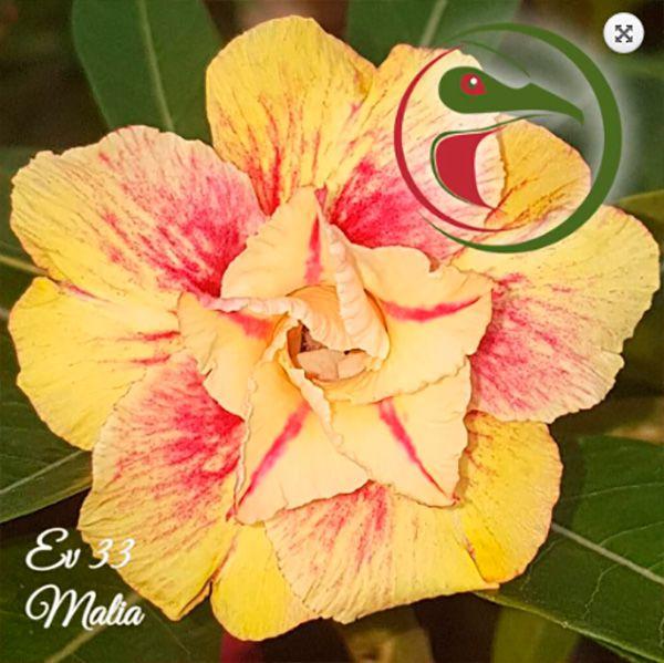 Muda Rosa do Deserto de enxerto com flor dobrada na cor matizada - EV33