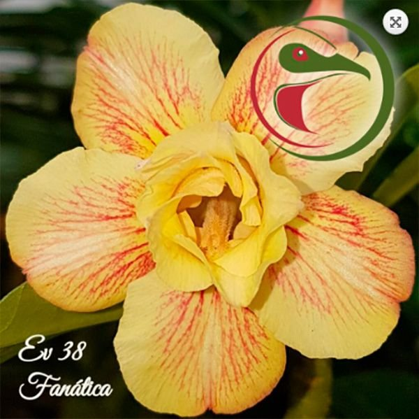 Muda Rosa do Deserto de enxerto com flor dobrada na cor matizada - EV38 Fanática