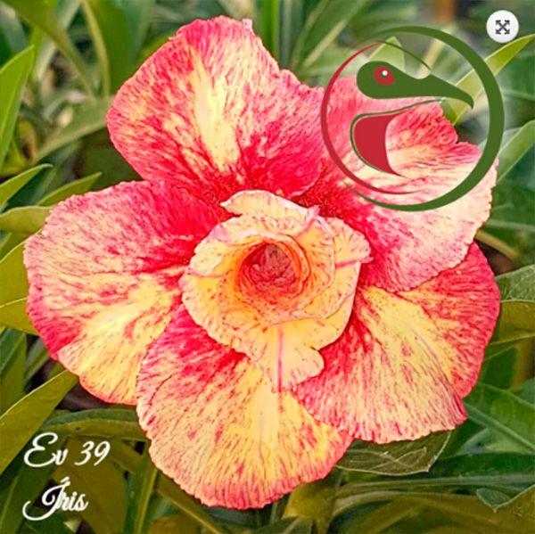 Muda Rosa do Deserto de enxerto com flor dobrada na cor matizada - EV39