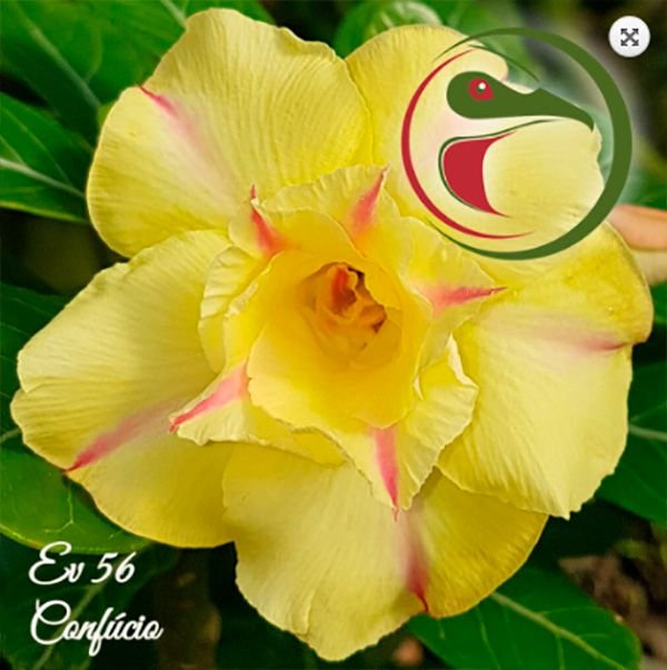 Muda Rosa do Deserto de enxerto com flor dobrada na cor matizada - EV56