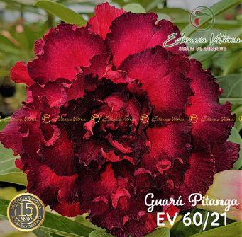 Muda Rosa do Deserto de enxerto com flor quádrupla na cor Vermelho e Preto - EV60 GUARÁ PITANGA