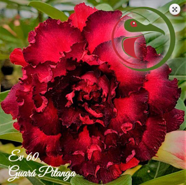 Muda Rosa do Deserto de enxerto com flor quádrupla na cor Vermelho e Preto - EV60