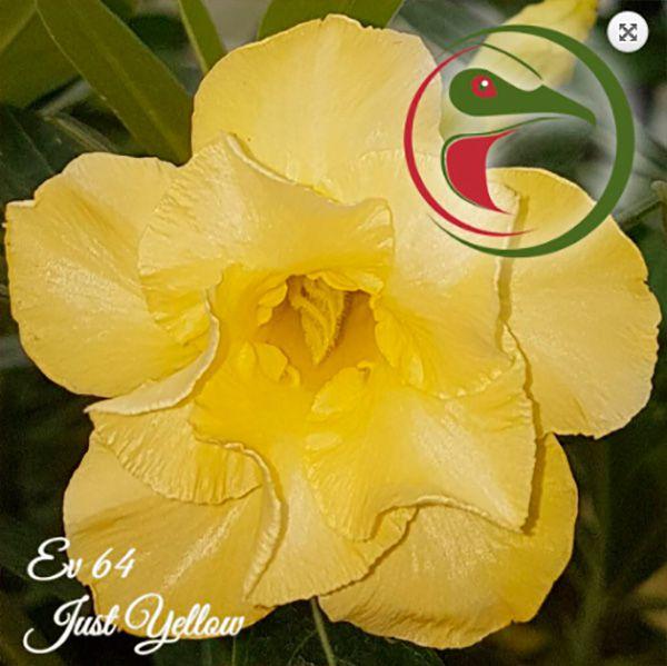 Muda Rosa do Deserto de enxerto com flor dobrada na cor amarela - EV64